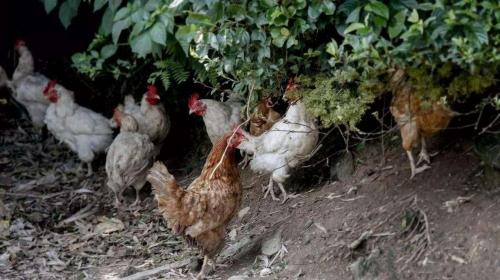 养鸡行业是否属于今年的政府扶持行业
