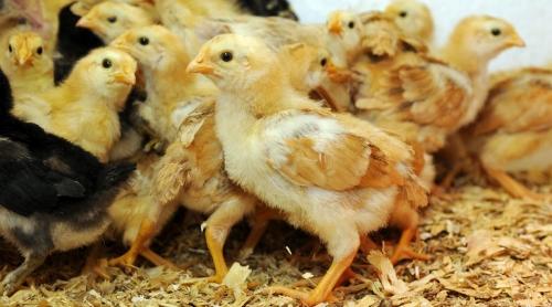 让养鸡户头疼的温度和湿度关系,快看应该如何应对?