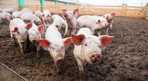 直接施用猪粪对农作物、土壤都有害,猪粪如 何处理才是正确的方式