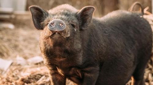 环保是今年养猪管控的要紧的事,这样猪粪处理,既环保又增收
