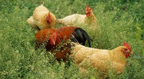 鸡粪发酵后变废为宝