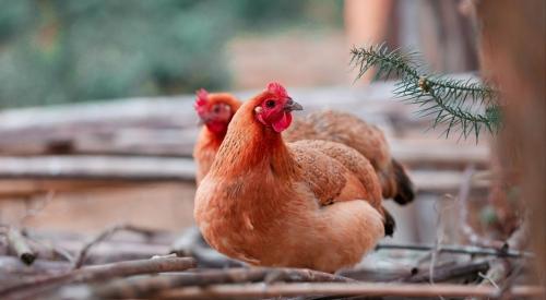 如何处理鸡粪做有机肥