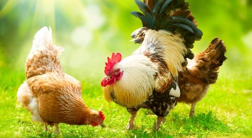 鲜鸡粪快速发酵方法