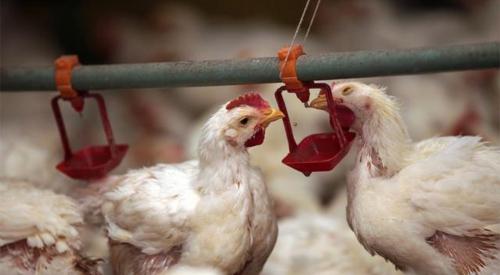 鸡舍如何除臭?鸡舍臭气熏天,教你几招轻轻松去除鸡舍臭味