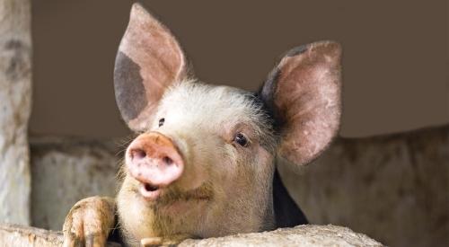 干猪粪发酵怎么用?干猪粪发酵方法!