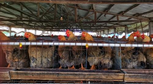 鸡粪发酵肥料做法,鸡粪发酵的方法!