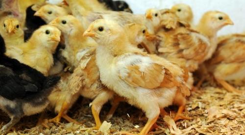 自从做好了鸡粪无害处理,养殖户再也不担心吃亏了