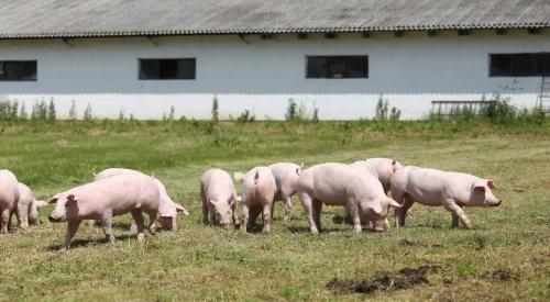 湿猪粪快速发酵处理的方法、湿猪粪利用!