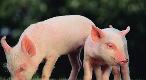 猪场如何绿色环保处理猪粪
