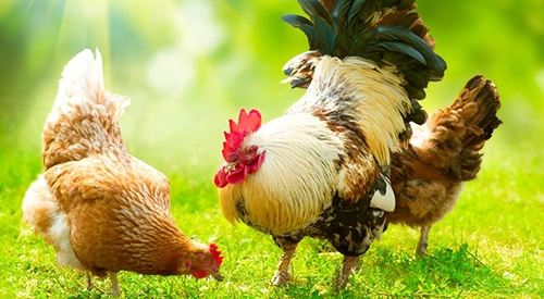 简单实用的鸡粪发酵方法你知道吗