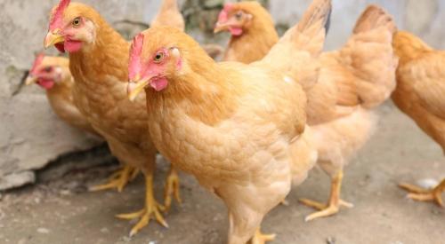 鸡粪清理方法