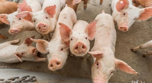 浅谈养猪场的养猪粪污处理技术