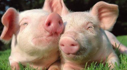 解读养猪场猪粪处理妙招
